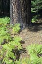 Ferns and tree trunk in the yosemite national park california Royalty Free Stock Photo