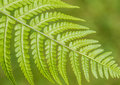 Ferny Royalty Free Stock Photo