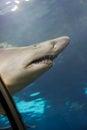 Ferocious shark Royalty Free Stock Photo