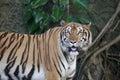 The ferocious tiger in zoo Stock Photos