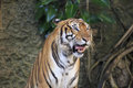 The ferocious tiger in zoo Stock Image
