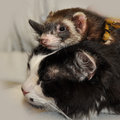 Ferret and cat sits on top of the Stock Photo