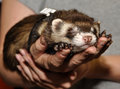 Ferret in a hand curious domestic animals Royalty Free Stock Photography