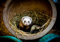 Ferret at home in a flower pot Stock Photography