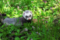 Ferret mustela putorius sable walking on the green grass Stock Image