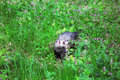 Ferret mustela putorius sable walking on the green grass Royalty Free Stock Image