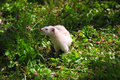 Ferret mustela putorius white walking on the green grass Stock Photos