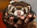 Ferret sleeping curious domestic animals in a hand Royalty Free Stock Image