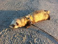 Ferret tired in the road Royalty Free Stock Image