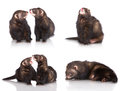 Ferrets set of on white background Stock Images