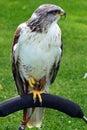 Ferruginous Buzzard Royalty Free Stock Photo
