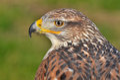 Ferruginous buzzard, Buteo regalis Royalty Free Stock Photo