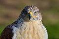 Ferruginous buzzard, Buteo regalis