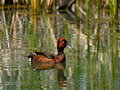 Ferruginous Duck Stock Photography