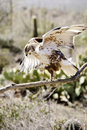 Ferruginous Hawk Stock Photos