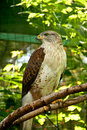 Ferruginous Hawk Stock Photo
