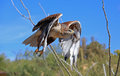 Ferruginous hawk in flight Royalty Free Stock Photo