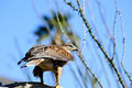 Ferruginous hawk a perched on a branch Stock Photos