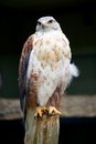 Ferruginous Hawk Portrait Royalty Free Stock Photos