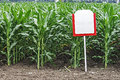Fertile maize in an agricultural research station Stock Photography