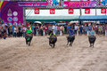 Festival buffalo racing is tradition at chonburi in thailand october Stock Image