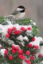 Festive winter chickadee a black capped on a spruce bough full of bright red berries Stock Photos