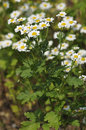 Feverfew flowers tanacetum parthenium used to prevent migraine headaches Royalty Free Stock Photos