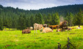 Few cows in  meadow Royalty Free Stock Photo