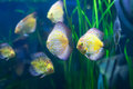 Few discus fish in the grass at water Royalty Free Stock Image
