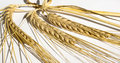 A few ears of golden wheat on white Royalty Free Stock Photo