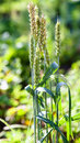 Few ears of green wheat at field in sunny summer day Royalty Free Stock Photography