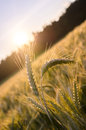 Few wheat ears standing out of wheat field ripe in summer evening Royalty Free Stock Image