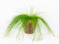 Fiber Optic Grass, Live Wire Royalty Free Stock Photo