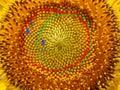 Fibonacci Numbers Of Sunflower...