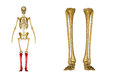 Fibula and tibia, Ankle and foot Royalty Free Stock Photo