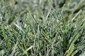 Ficinia Ice Crystal grass Royalty Free Stock Photo