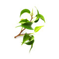 Ficus benjamina branch of houseplant on white background clipping path included Stock Photo