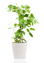 Ficus benjamina in flowerpot Royalty Free Stock Photo
