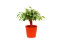 Ficus benjamina pot isolated white background Stock Photo