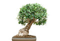 Ficus bonsai tree Stock Images