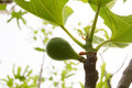 Ficus carica common fig ficus young green fruit on twig ficeae growing leaves partially visible blurry trees in the Royalty Free Stock Image