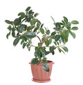 Ficus the elastica variety melany Royalty Free Stock Photography