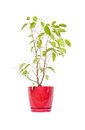 Ficus in flowerpot isolated on white Royalty Free Stock Images