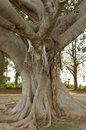 Ficus in a garden in monreale palermo Royalty Free Stock Photography