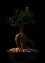 Ficus ginger tree miniature planted in a container with pebbles and a black background Royalty Free Stock Photos