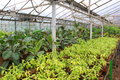 Ficus in greenhouse rows of and other plants for home decoration the Royalty Free Stock Photo