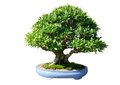 Ficus japan bonsai tree a isolated white Stock Images