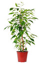 Ficus in pot. Royalty Free Stock Photography