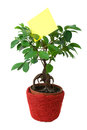 Ficus in pot with a blank paper Stock Photography