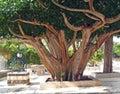 Ficus religious sacred fig ficus sacred ficus religiosa l Royalty Free Stock Photos